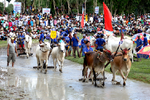 30.000 du khách về An Giang xem lễ hội đua bò