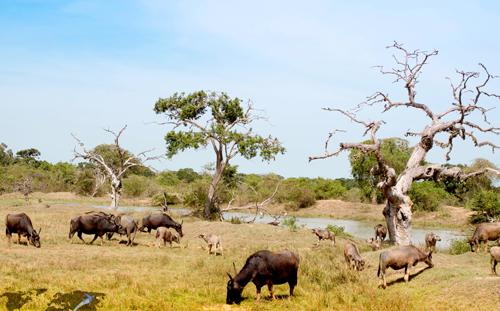 Muôn chim vạn thú trong vườn quốc gia Yala