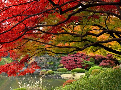 Tokyo lộng lẫy mùa lá vàng