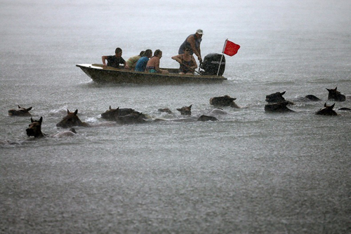 Cuộc thi 'tắm biển' của những chú ngựa nước Mỹ
