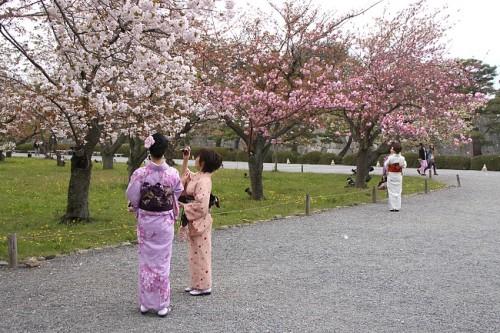 Mùa anh đào nở rộ tại Nhật Bản