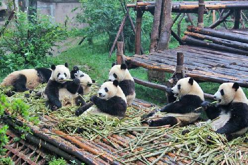 Thế giới của những chú gấu trúc ở Thành Đô