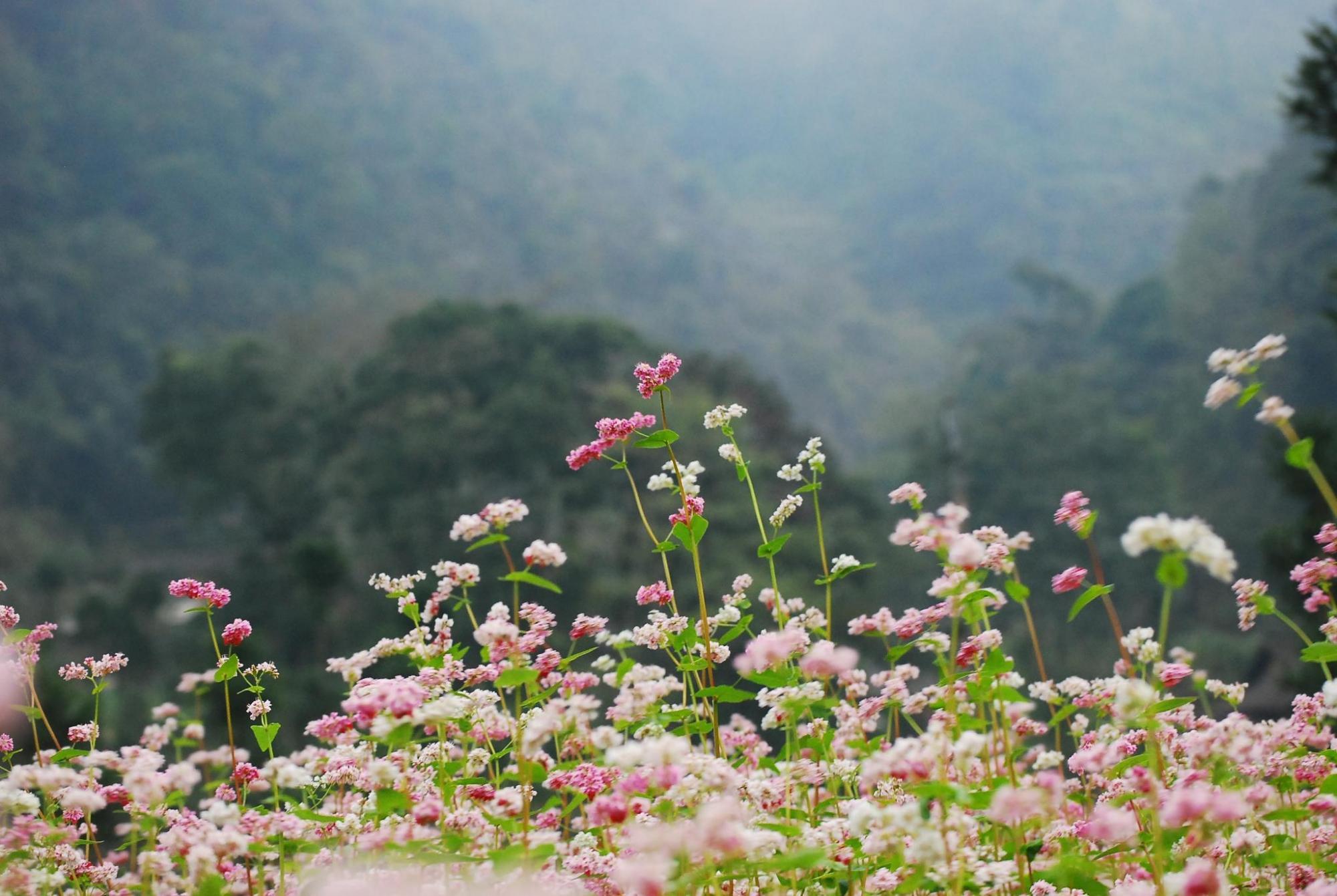 Quyến rũ mùa tam giác mạch nơi cao nguyên đá Hà Giang