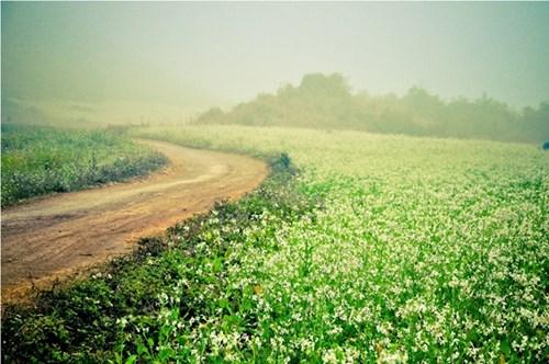 Đến thăm Mộc Châu mùa hoa cải trắng