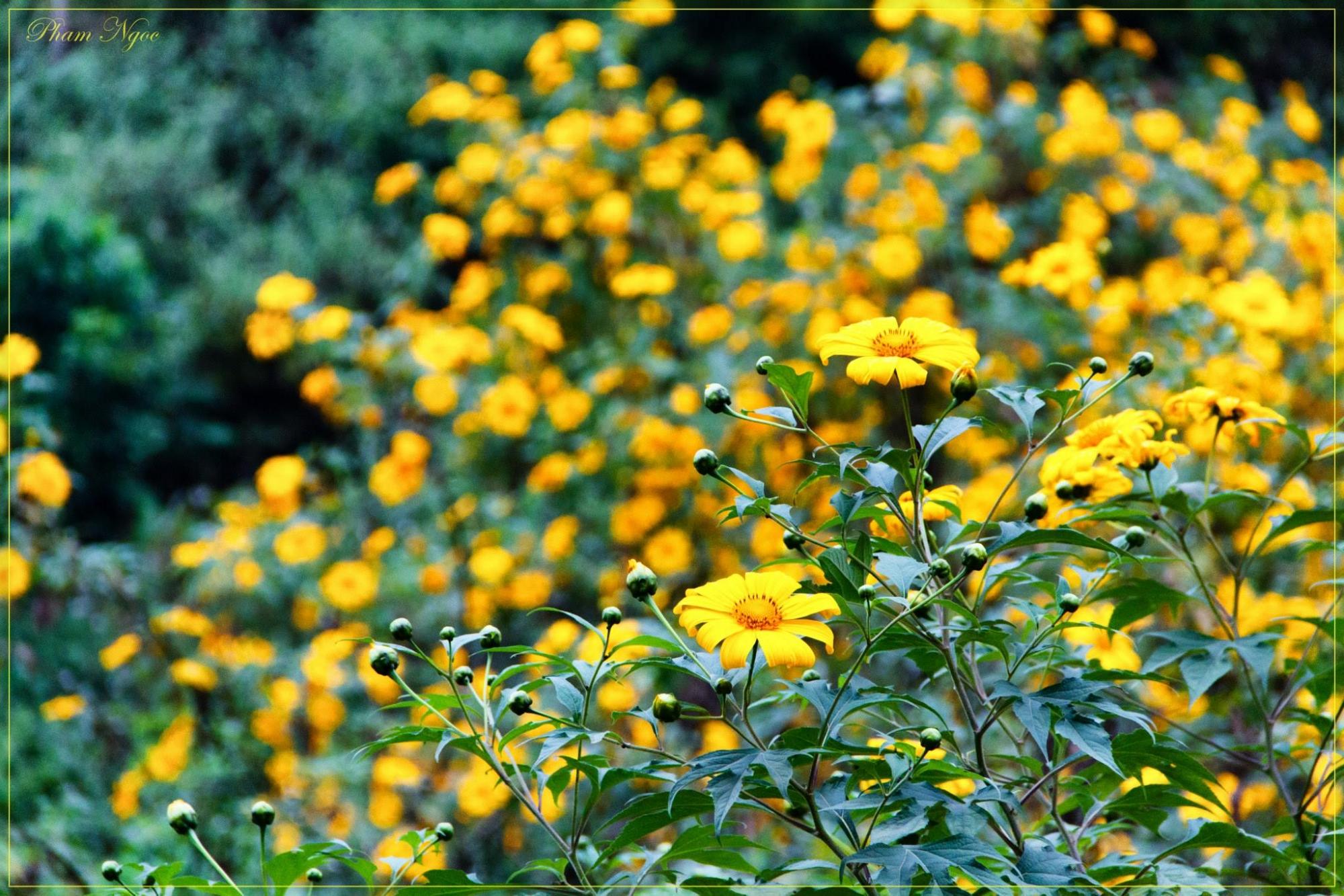 Rực rỡ sắc quỳ vàng trong buổi chớm Đông