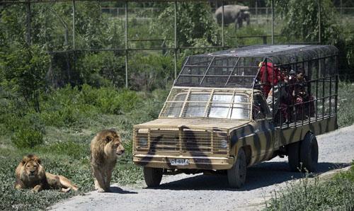 Dịch vụ chui lồng sắt cù sư tử ở Chile