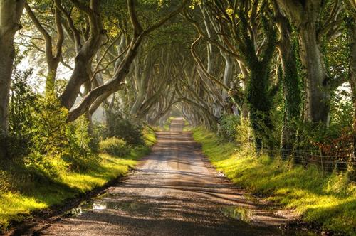 Chuyện kể thú vị quanh hàng sồi thần tiên ở Ireland