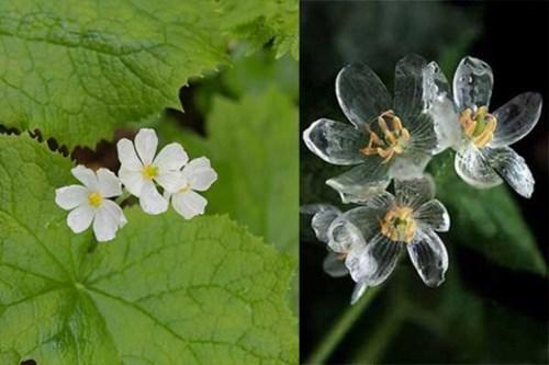 Loài hoa cực đẹp hóa trong suốt khi mưa xuống