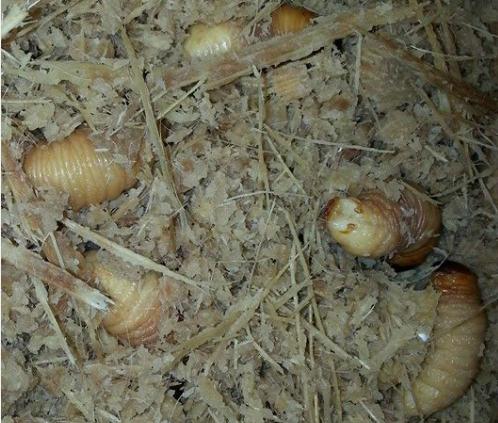 8 món ngon từ đuông dừa miền Tây