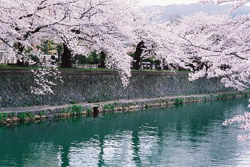 Chùm tour ngắm hoa anh đào trên khắp thế giới