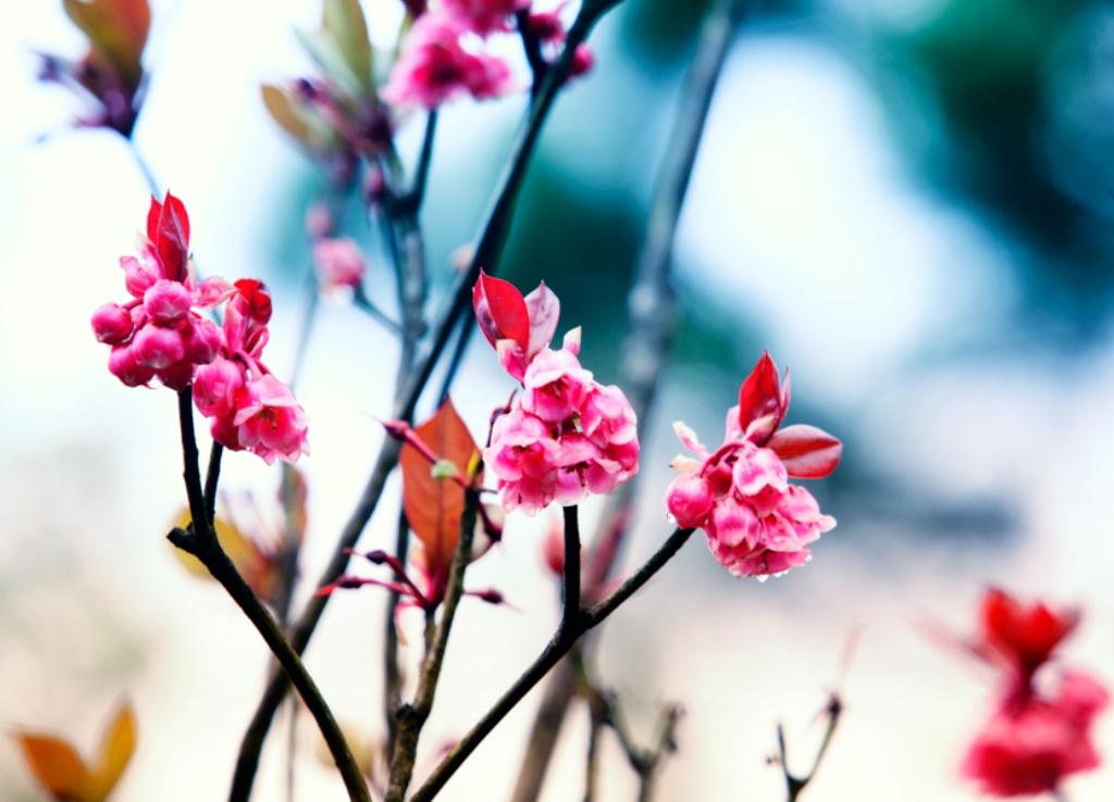 Hoa đào chuông, loài hoa ngân giai điệu mùa xuân