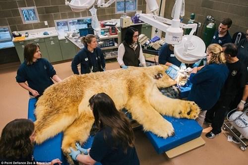Hồi hộp xem nhổ răng cho gấu Bắc cực
