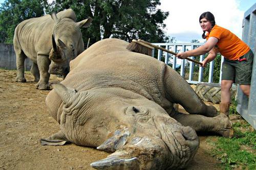 Sở thú Anh cho tê giác uống thuốc 'tráng dương'