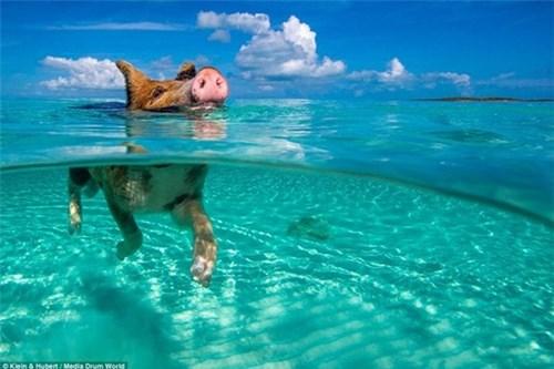 Thú vị hòn đảo khách du lịch thích đến để được… tắm với lợn