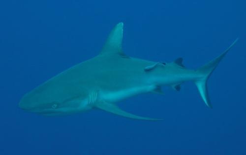 Cá mập cắn chết du khách ở biển Đỏ