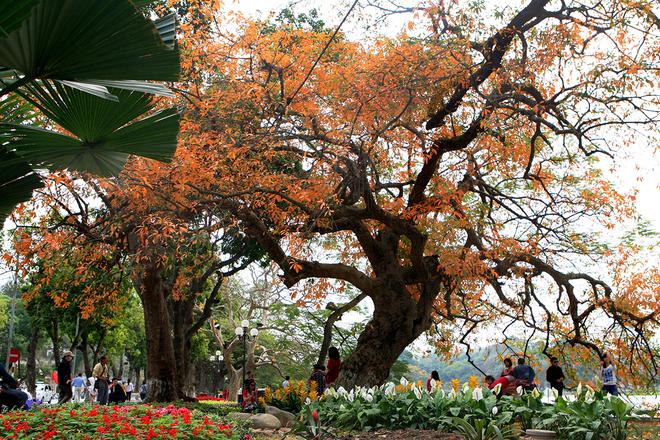 Cây lộc vừng nổi tiếng nhất Hà Nội trong mùa thay lá