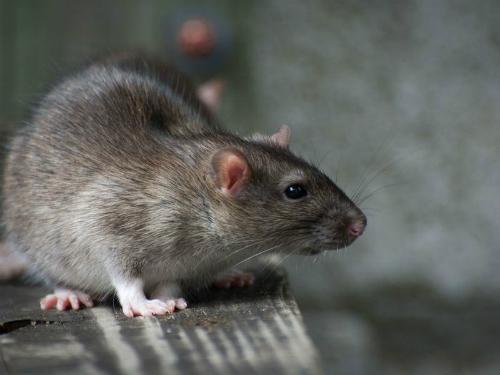 Thả chuột trong nhà hàng để khỏi trả tiền ăn