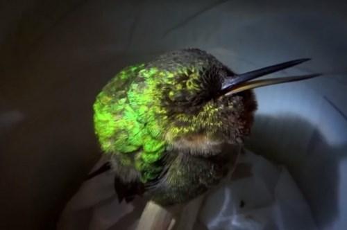 """Video: Xem chim ruồi """"ngáy khò khò"""" như con người"""