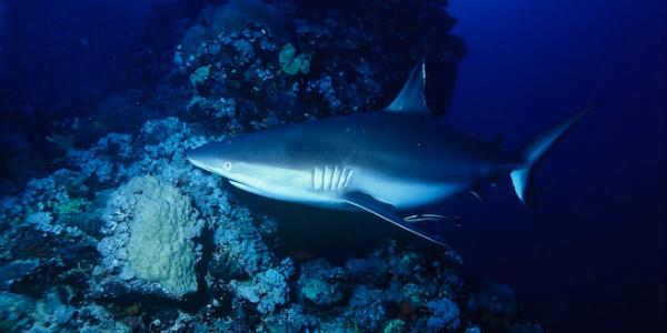 """Lạ lùng cá mập quý hiếm """"sợ"""" người tới mức đau tim mà chết"""