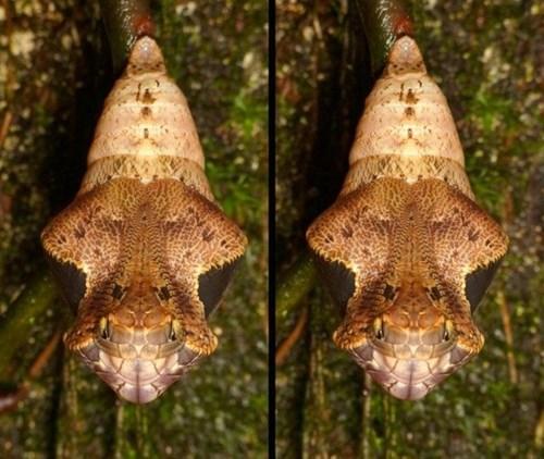 Kinh ngạc loại sâu bướm biết hoá trang thành rắn