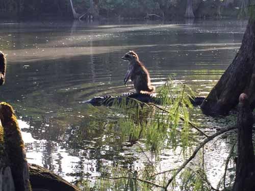 Gấu trúc cưỡi cá sấu qua sông ở Florida