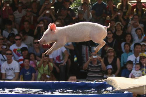 Những nơi lợn bơi không còn là điều lạ