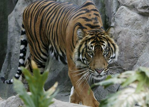 Con hổ cắn chết nhân viên vườn thú thoát án tử
