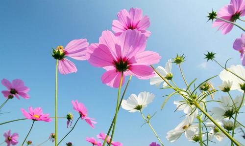 Đà Lạt trồng 60.000 cây hoa cánh bướm cho Festival Hoa