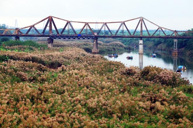 Mùa cỏ lau bên cây cầu trăm tuổi Long Biên