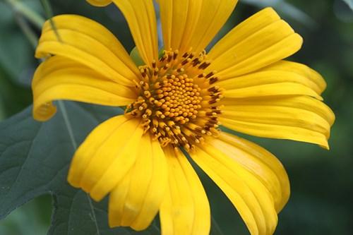 Lên Ba Vì ngắm mùa hoa dã quỳ rực rỡ