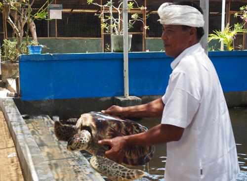 Người canh giữ thế giới rùa trên đảo Bali
