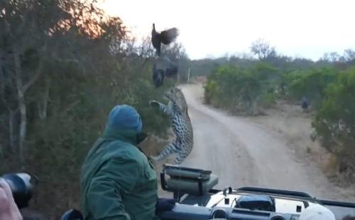 Báo gấm châu Phi chộp mồi trước mũi xe du khách