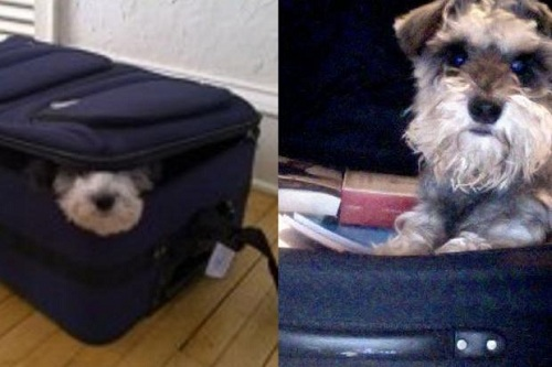 Chó trốn trong vali bay trót lọt từ Hong Kong qua Nhật Bản