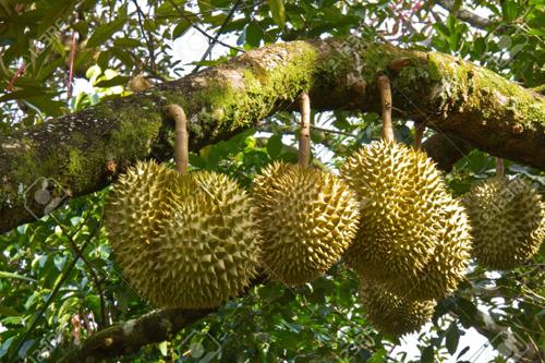 'Vua trái cây' vạn người yêu, ghét ở Đông Nam Á