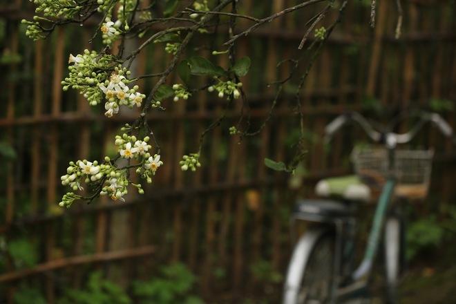 Khu vườn ngập tràn hương bưởi ở Hà Nội