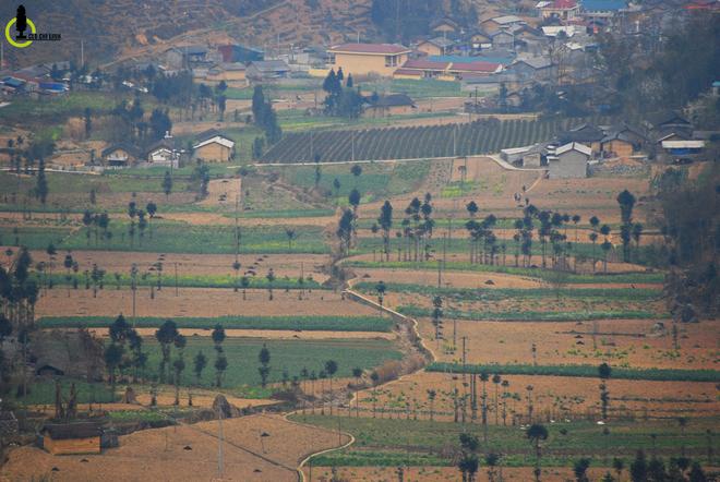 Cây sa mộc giữa cao nguyên đá Đồng Văn
