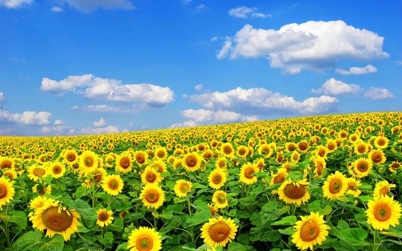 Choáng ngợp cánh đồng hoa hướng dương lớn nhất Việt Nam