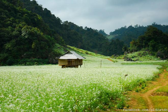 Lạc lối giữa đồng cải trắng Mộc Châu mùa cuối thu