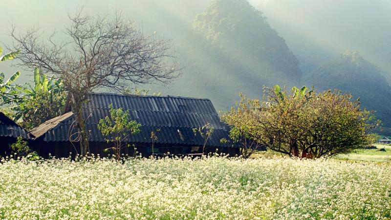 Mộc Châu trắng xóa tinh khôi mùa hoa cải