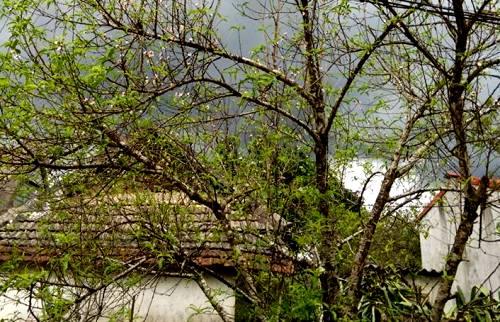 Hoa đào Mộc Châu khoe sắc giữa mùa thu