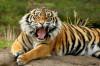 Du khách chạy thục mạng giữa đàn hổ ở Trung Quốc
