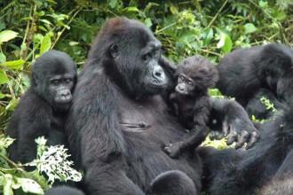 Khám phá hành trình gorilla ở Rwanda