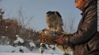 Làng chim ưng ở Trung Quốc