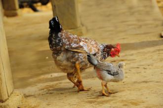 Thưởng thức gà chín cựa trong rừng Xuân Sơn
