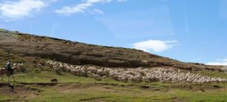 'Vương quốc' loài cừu