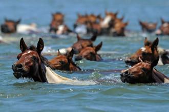 Cuộc thi bơi của những chú ngựa nước Mỹ