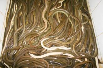 Gỏi cá nhệch, món ngon đất Nga Sơn