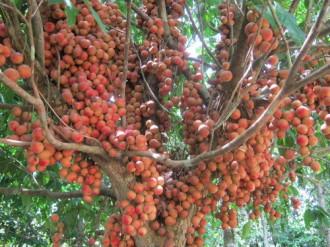 Vị chua ngọt dâu rừng Quảng Nam