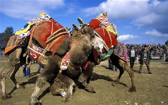 Xem đấu vật lạc đà ở Thổ Nhĩ Kỳ