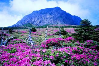 Sắc xuân trên hòn đảo lãng mạn Jeju